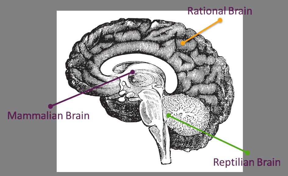 """Résultat de recherche d'images pour """"Mammalian Brain"""""""